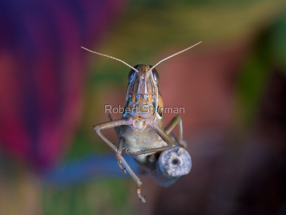 Locust by Robert Sturman