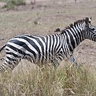 Burchell's Zebra - Masai Mara Kenya by Sue Earnshaw