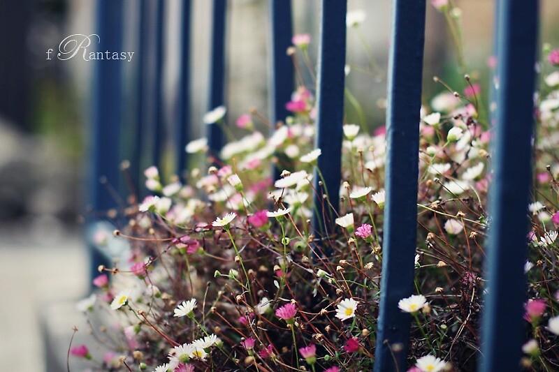 seaside daisy by fRantasy