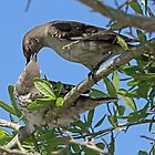 Mom feeding young mocking bird by jozi1