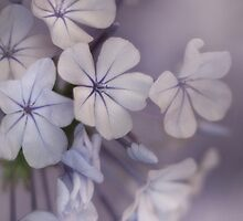 Gossamer Plumbago by Dianne English
