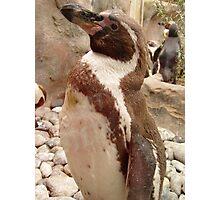 Proud Penguin Photographic Print