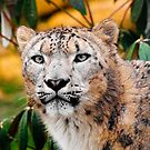 Snow Leopard. by CJTill