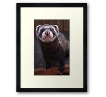 Zorro the polceat/ferret hybrid Framed Print
