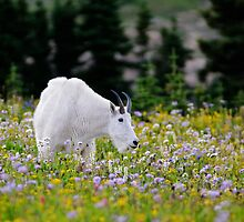 Mountain goat by JimGuy