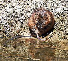 Mr Beaver by cherylc1