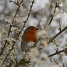 robin with hawthorne blossom by Steve