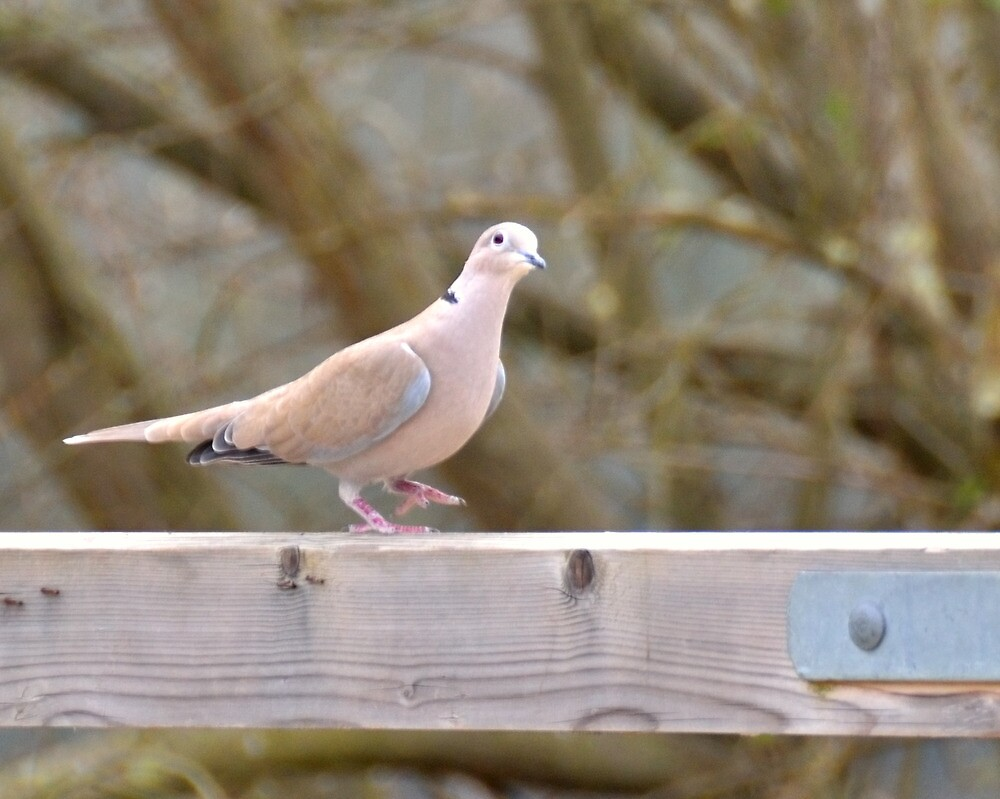 dancing dove by Stephen Frost
