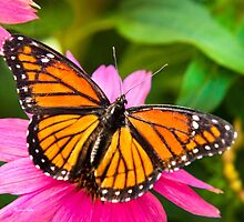 Orange Viceroy Colorful Butterfly Art by Christina Rollo