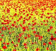 Poppies field by Francesco Malpensi