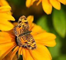 Pearl Crescent Butterfly Art by Christina Rollo