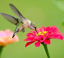 Hummingbird Waiting in the Wings by Christina Rollo