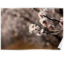 apricot flower Poster