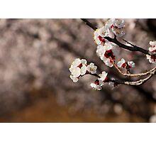 apricot flower Photographic Print