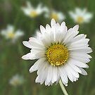 Daisy by Lifeware
