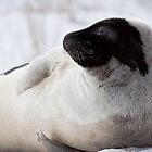 Harp Seal - Adult by Stephen Rowsell