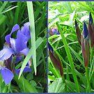 Iris x 2 by Debbie Robbins