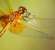 The orange dragonfly at early morning by Julia Shepeleva