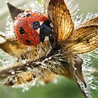Lady bug in a dew  by Julia Shepeleva