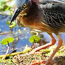 Green Heron Captures Green Larvae by Joe Jennelle