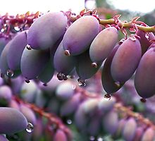 Mahonia Berries after a Spring Rain by Kate Eller