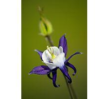 Blue Columbine Photographic Print
