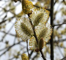 """We call it """"pussy willow"""" by John (Mike)  Dobson"""