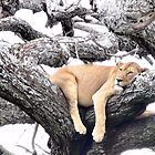 Lion Relaxing by Ellen Rosen Singer