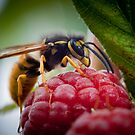 European Wasp by Jodi Turner