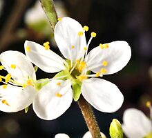 Damson blossom 2 by Stephen Frost