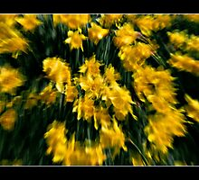 Daffodils in Spring Breeze by Scott Anderson