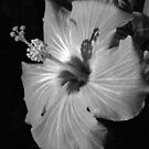 Hibiscus Black and Whitus by glennc70000