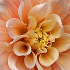 Back-yard Dahlia by ©  Paul W. Faust