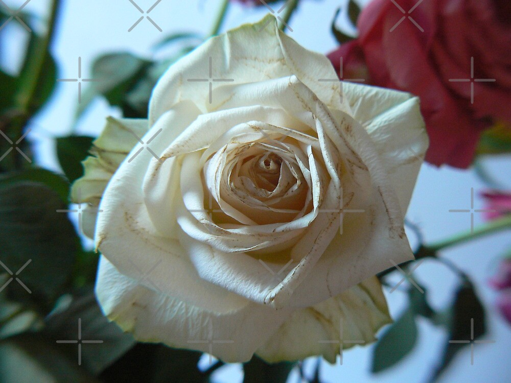 white rose in blue tint by LisaBeth