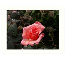 Raindrops on a pink Rose Art Print