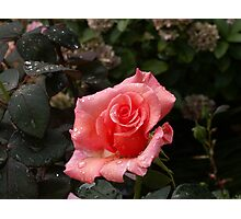Raindrops on a pink Rose Photographic Print