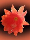 Orchid Cactus - Epiphyllum Ackermannii by MotherNature