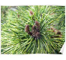 Mugo Pine Poster