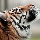 Tiger Tiger (Sumatran Tiger) by ©FoxfireGallery / FloorOne Photography