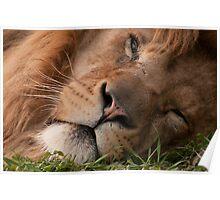 The Lion sleeps tonight (Panthera leo) Poster