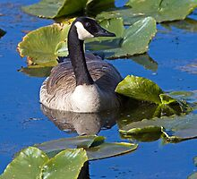 Canada Goose in the Lily Pads by Randall Ingalls