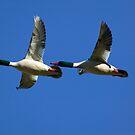 Male Mergansers in Flight by Randall Ingalls