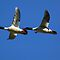 Male Mergansers in Flight by Randall Ingalls