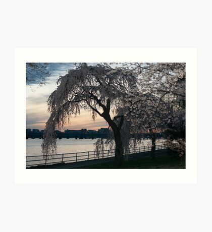 Weeping Cherry Blossom Tree Art Print