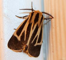 Harnessed Tiger Moth by RebeccaBlackman