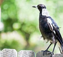 Magpie Fence Sitting by jayneeldred