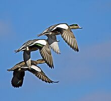 American Wigeons Flying Above Fern Ridge Lake  by Chuck Gardner