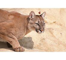Cougar/Puma  _(Puma Concolor)_ Photographic Print