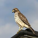 Hawk by Gouzelka
