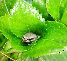 Snug,Tiny Frog in Hydrangea,Tumut, Australia. by kaysharp